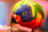 Rainbow lorikeet Topaz Expression