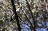 Kookaburra with snake