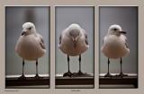 A triptych of three silver gulls