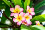 Pink frangipanis