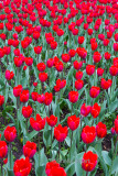 Tulips in Kristiansund