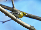Yellow-throated Vireo - Vireo flavifrons