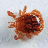 Lone Star Tick - Amblyomma americanum (male)