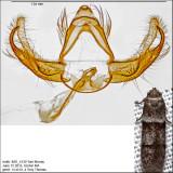 Blastobasis sp. IMG_4130.jpg