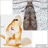 1842 - Taygete attributella IMG_4182.jpg (Autostichidae)