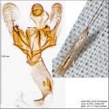 1358 - Coleophora quadrilineella IMG_4255.jpg