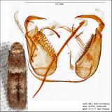 Pigritia sp. IMG_4269.jpg