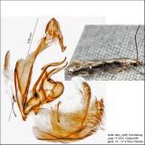 Coleotechnites/Recurvaria IMG_4285.jpg