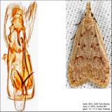 2283 - Spotted Dichomeris - Dichomeris punctidiscella IMG_4288.jpg