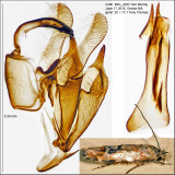 1455 – Mompha stellella IMG_4293.jpg