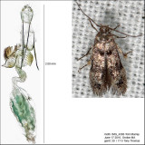 1594 - Stilbosis venifica (probably) IMG_4306.jpg