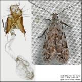 Anacampsis sp.  IMG_4334.jpg