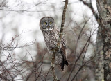 Great Gray Owl - Strix nebulosa