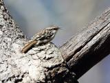 Brown Creeper - Certhia americana