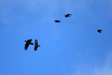 Common Raven chased by American Crows