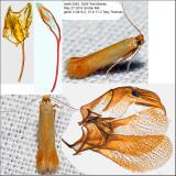 0126 - Coptotriche citrinipennella IMG_3246.jpg