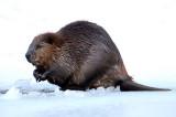 Muscrats & Beavers