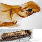 0392 - Dark-collared Tinea - Tinea apicimaculella IMG_3293.jpg