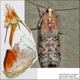 5745 - Glyptocera consobrinella IMG_6247