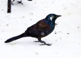 leucistic Common Grackle