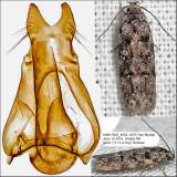 1878 - Xenolechia ontariensis IMG_4552.jpg