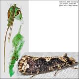 0311 - Scardia anatomella IMG_4599.jpg