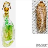 0053 - Zimmermannia obrutella IMG_4661.jpg