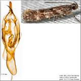 1766 - Glauce pectenalaeella IMG_4720.jpg