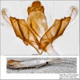 Coleophora atromarginata? IMG_4744.jpg