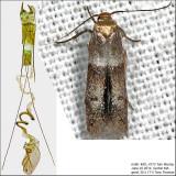 Pigritia sp. IMG_4773.jpg