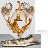 1011 - Schlaeger's Fruitworm Moth - Antaeotricha schlaegeri IMG_4859.jpg