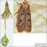 1062 - Carolana ascriptella IMG_4881.jpg