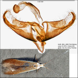 Coleophora comptoniella group, limosipennella? IMG_4882.jpg
