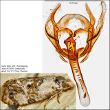 3776 - Hoffman's Cochlid - Cochylis hoffmanana