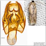 0055 -  Zimmermannia bosquella IMG_4934.jpg
