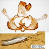 Coleophora querciella or sacramenta IMG_5015.jpg