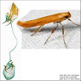 Caloptilia sp.  IMG_5031.jpg