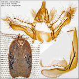 3539 - Lesser Maple Leafroller - Acleris chalybeana