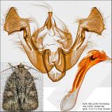 9408 – Exhausted Brocade Moth – Neoligia exhausta IMG_6256.jpg