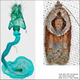 3536 – Robinson's Acleris – Acleris robinsoniana