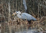 Great Blue Heron eating a pickerel