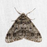 6660 – Small Phigalia – Phigalia strigataria