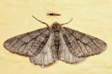 6658 – Half-wing – Phigalia titea