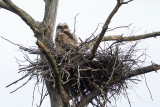 Great Horned Owls - Bubo virginianus