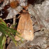 9933.1 - Sidus Sallow - Eupsilia sidus