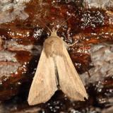 10438 - White Speck (Armyworm) -Mythimna unipuncta