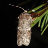 10517 - Alternate Woodling - Egira alternans