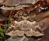 8713 - Pine Barrens Zale - Zale lunifera