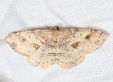 6221 - Signate Melanolophia - Melanolophia signataria