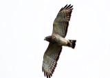 Broad-winged Hawk - Buteo platypterus